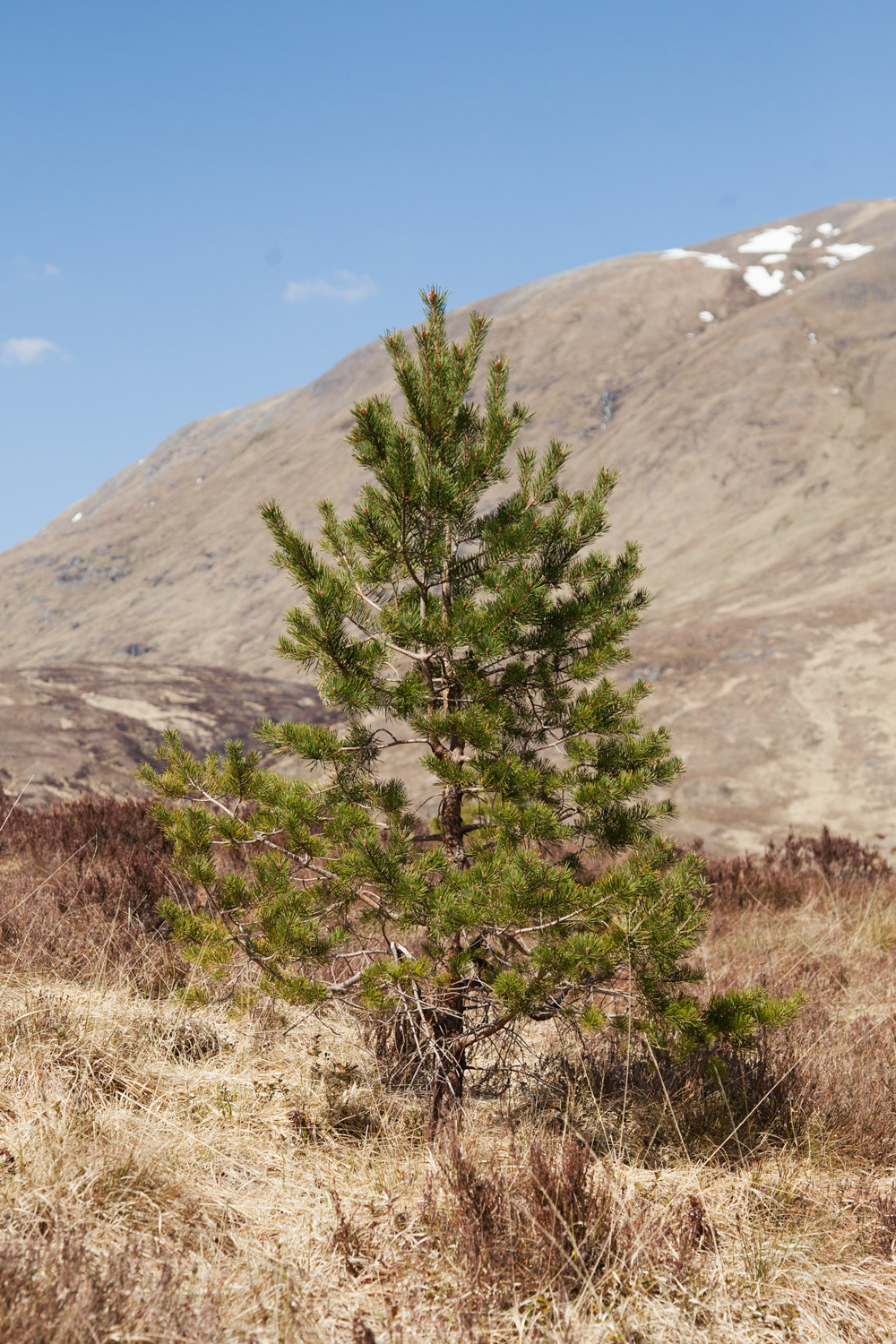 Left Page Lonely Scots Pine